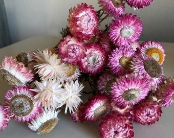 Rose shades- Dried Strawflower bundle