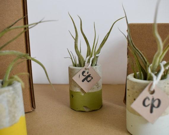 Air/Oxygen Tillandsia Plant - Medusa - Handmade Concrete Pot - Dipped Green
