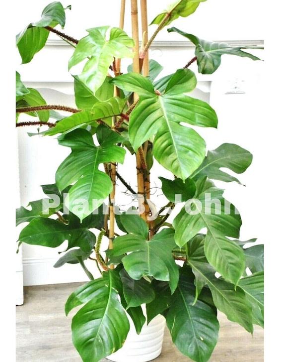 1 live plant philodendron squamiferum rare hous eplant
