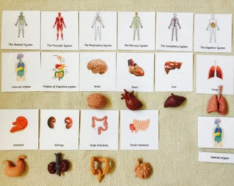 Montessori Human Anatomy Human Organs 5 Parts Cards with Miniatures