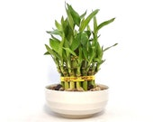 Indoor Live Plants - lucky bamboo 2 tiers tower in a white ceramic Vase. Perfect Gift 4 birthday, coworker, anniversary, mom dad daughter