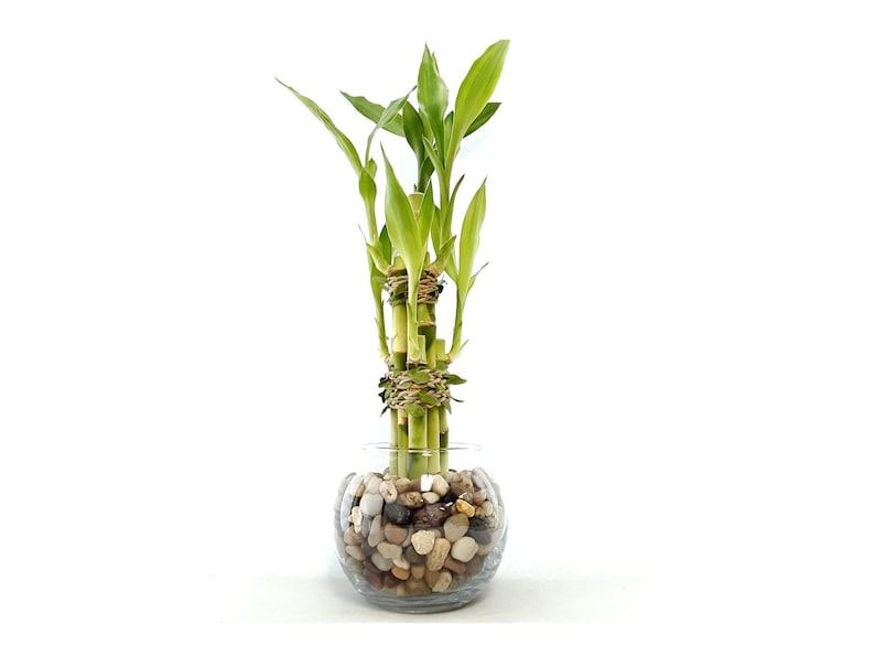 Indoor Live Plants 6 stalks of lucky bamboo arrangements in image 0
