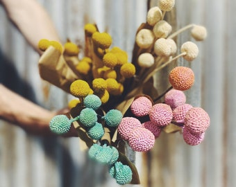 Billy Buttons - Preserved Forever Flowers
