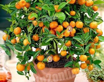 Dwarf Orange Mandarin Indoor House Plant Outdoor Plants Tree 15 Seeds RARE Heirloom