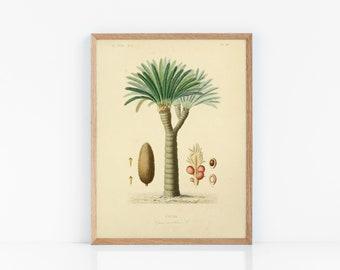 Zamia secca 6 Semi-Palma di cartone cycadophyta