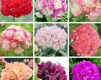 Geranium SEED Geranium /'Avenida/' Pink Orange Flowers 10 SEED