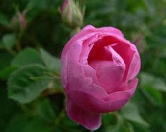 Rose Otto -Bulgaria, 100% Pure Rose Oil;  Rosa Damascena -Therapeutic, Nurture, Nourish & Balance -Aromatherapy, Natural Skincare, Perfume