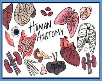 Human Anatomy Printable. Homeschool, Preschool Curriculum.