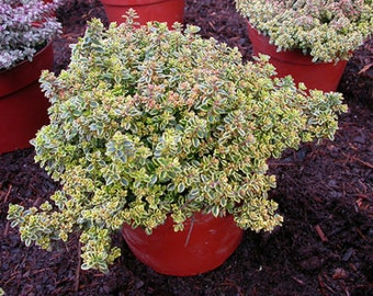 Creeping Thyme LEMON (25 Seeds) Thymus p[olegioides aromatic