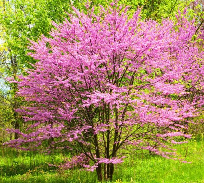 1 Eastern Redbud 2 Foot Tall Bareroot Tree Etsy