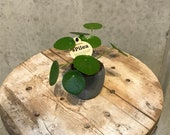 Pilea baby plant, ufo plant , Pilea Peperomioides plant, Pilea, Chinese money plant, houseplant, urban jungle