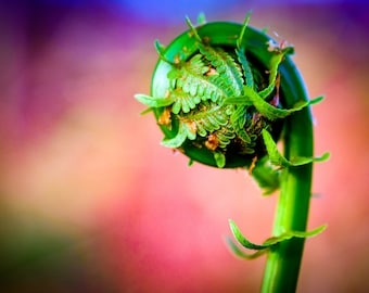 Colorful Fiddlehead - Wall Decor on Paper, Canvas or Metal - Small to Large Sizes Available