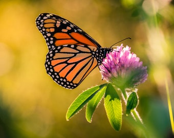 Monarch Butterfly On Flower - Wall Decor on Paper, Canvas or Metal - Small to Large Sizes Available