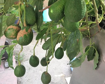 """4 fresh tree cutting (7-8"""") CALIFORNIA hass avocado good for plantting Root Your Own"""