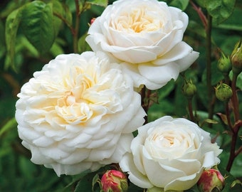 Double Yellow Rose Flower  Professional Pack 50 Seeds Strong Fragrant Rose