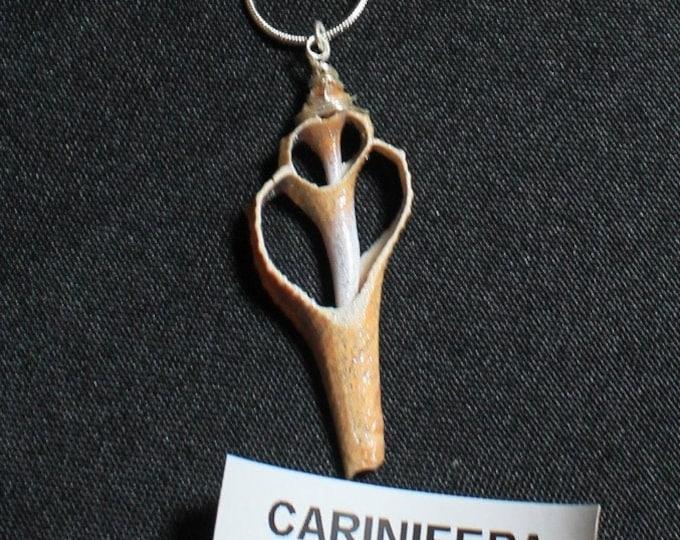 Carinifera 16