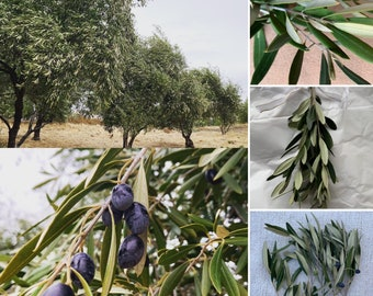 Bulk olive stems - freshly harvested - perfect for wedding, event decor, garland and wreath making, flower arranging, and more.