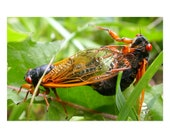 Mating Cicadas Postcard | 4x6 Insects Flat Card,  Nature, Bugs, Small Gift, Small Art Print