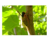 Climbing Cicada Postcard | 4x6 Insect Flat Card, Nature, Bug, Small Gift, Small Art Print