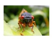 Cicada Staredown Postcard | 4x6 Insect Flat Card, Nature, Bug, Small Gift, Small Art Print