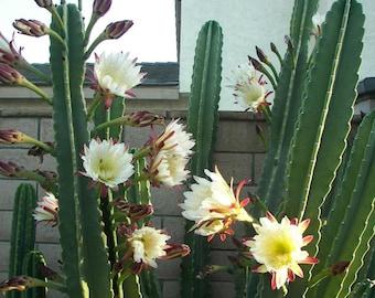 Apple Cereus Cactus Cutting - Incredible