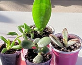 4 Pack ROOTED starter Baby Plants - Succulents, Kalanchoe Chocolate Soldier, Sansevieria Snake Plant, Lucky Pygmy Jade, String of Bananas,