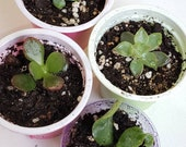 4 Pack ROOTED starter Baby Plants - Succulents, Lucky Pygmy Jade, Ripple Leaf Jade, Echeverria, burro Donkey tail or Little Gem