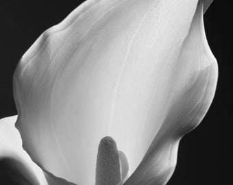 Lily - floral still life black and white fine art print