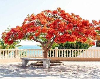 "Flamboyant Plant - Red Delonix Regia - Royal Poinciana Live Plant 5 to 7"" tall"