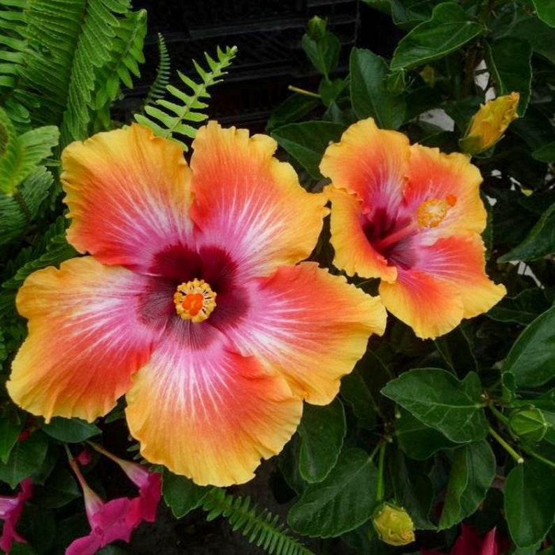 Fiesta Hibiscus  Exotic Hawaiian Sunset  Live Plant  7 To 10 image 0