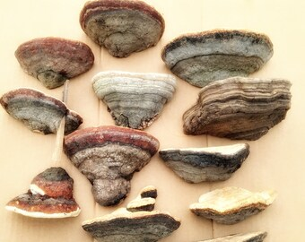 Polypore set of 12 Craft tree fungus Natural dried fungus , Natural material for decoration/Arrangement materials/Natural products