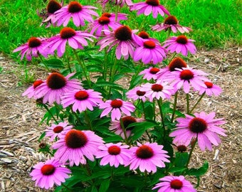 "10 graines//Seeds Echinea purpurea /""green twister/"""