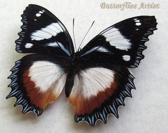 unmounted butterfly HYPOLIMNAS ALIMENA HETEROMORPHA
