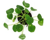 Chinese Money Plant (UFO Plant) - Pilea pepperomioides - 4 inch pot - By PlantAmani