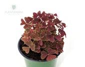 Ebony Allure Oxalis Traingularis - Purple Shamrocks- Lucky Plants - Love Plants - Air Purifying Houseplant 4 inch pot- By PLANTAMANI