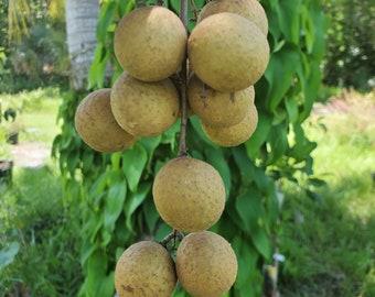 Fresh Longans 4 lb / Rare Tropical Florida Fruit