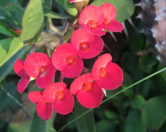 Super Red lucky cutting Crown of thorns/ Eskeje.