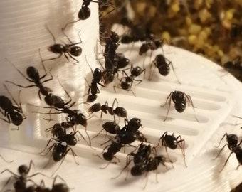Ant Liquid Feeder - Esthetic