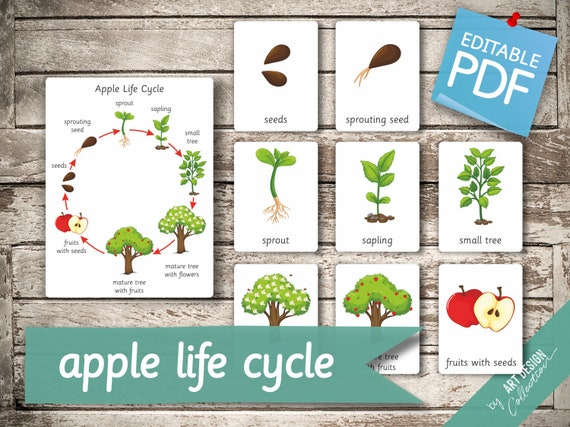 APPLE LIFE CYCLE  10 Montessori Cards  Large size A1 Flash