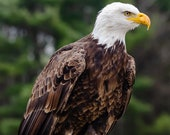 Eagle Portrait – Fine Art Print, Bald Eagle, Bald Eagle Photography, Wildlife Photography, Eagle Art, Majestic Bald Eagle