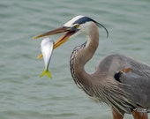 Blue Heron Playing With Lunch – Fine Art Photography, Blue Heron, Florida, Yellowtail Snapper