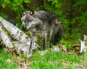 Into the Open – Western Timberwolf, Fine Art Photography, Wildlife Photography, Wolf, Wolves, Wolf Pack