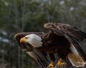 Bald Eagle Fine Art Print, gift for bird lovers, Bald Eagle Photography, Wildlife Photography, Quality Print, Eagle Art, Majestic Bald Eagle