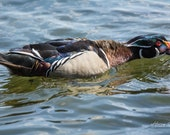 Temper Temper | Fine Art Photography, a Male Wood Duck Chasing Another Away