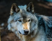 Watching – Grey Wolf, Fine Art Photography, Wildlife Photography, Wolf, Wolves, Wolf Pack