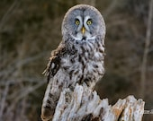 Great Gray Owl – Day or Night Hunter, Very Large Owl, Gray Ghost, Large Owl, Phantom of the North
