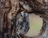 Eastern Screech Owl – Camouflage, Gray Morph, Red Morph, Night Hunter, Nocturnal