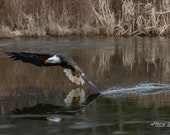 Eagle Drags Wing in the Water – Fine Art Print, Bald Eagle, Bald Eagle Photography, Wildlife Photography, Eagle Art, Majestic Bald Eagle