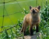 Howling Practice – Red Fox Kit, Fine Art Photography, Wildlife Photography, Fox, Fox Kit, Howling