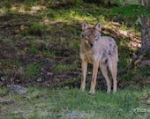 Wile E. Coyote, Genius – Wolf-Coyote Hybrid in Ontario Are Shy, and Generally Avoid Humans,